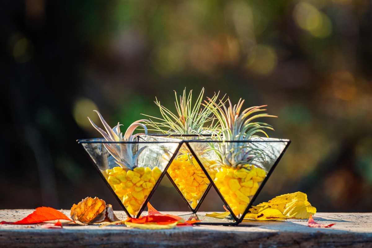 Terariu cu plante aeriene in trei piramide galben