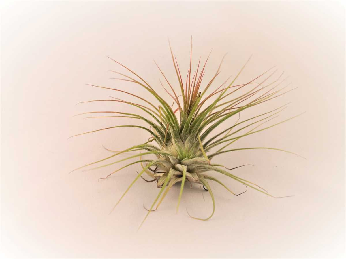 Planta aeriana Tilandsia verde