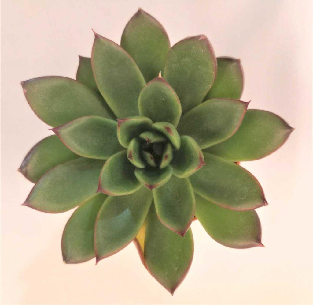 planta suculenta de dimensiune mica, echeveria