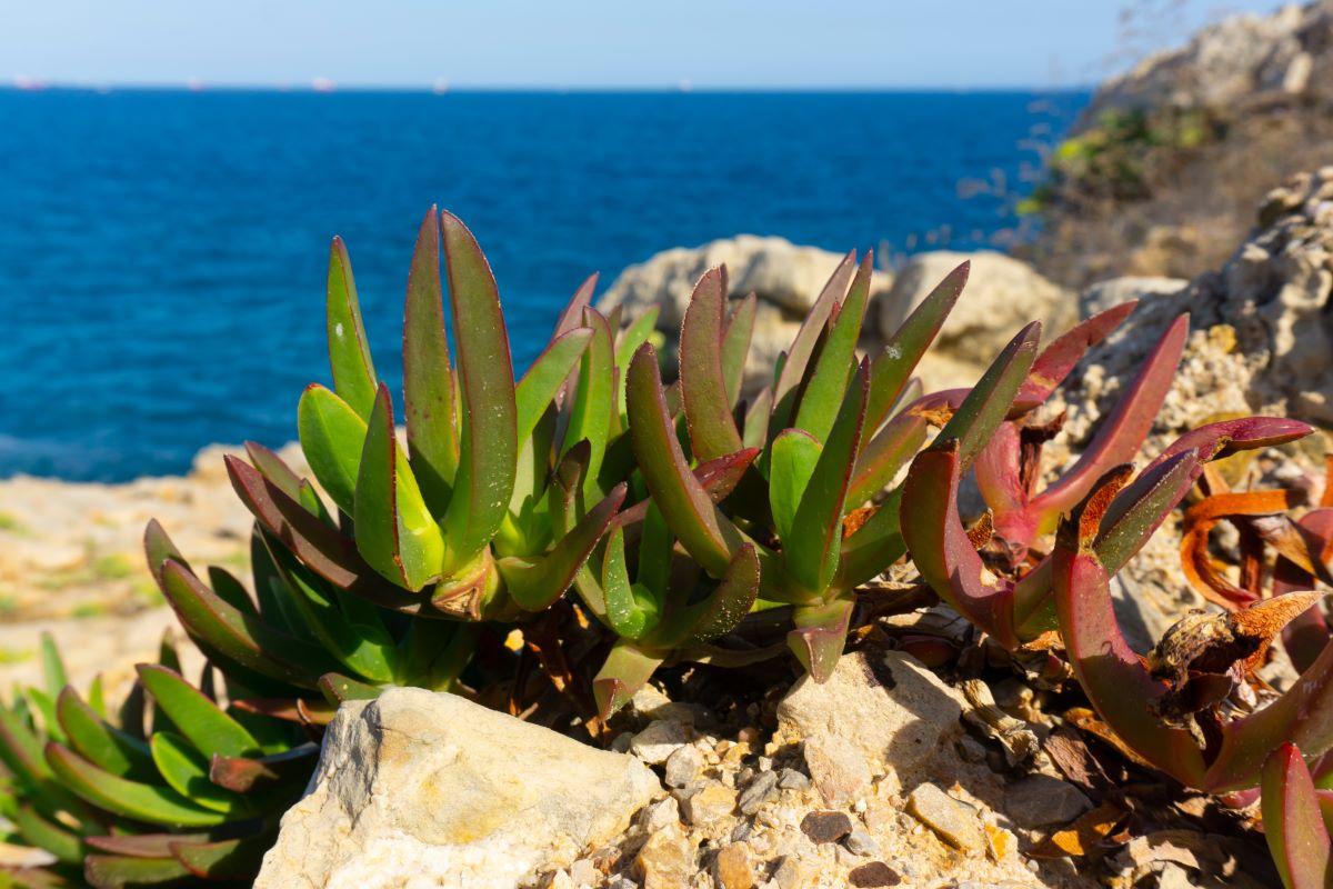Plante suculente pe malul marii Mediteraneene, in Italia