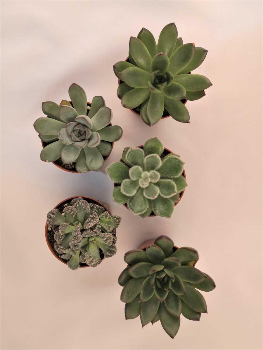 set de cinci plante suculente