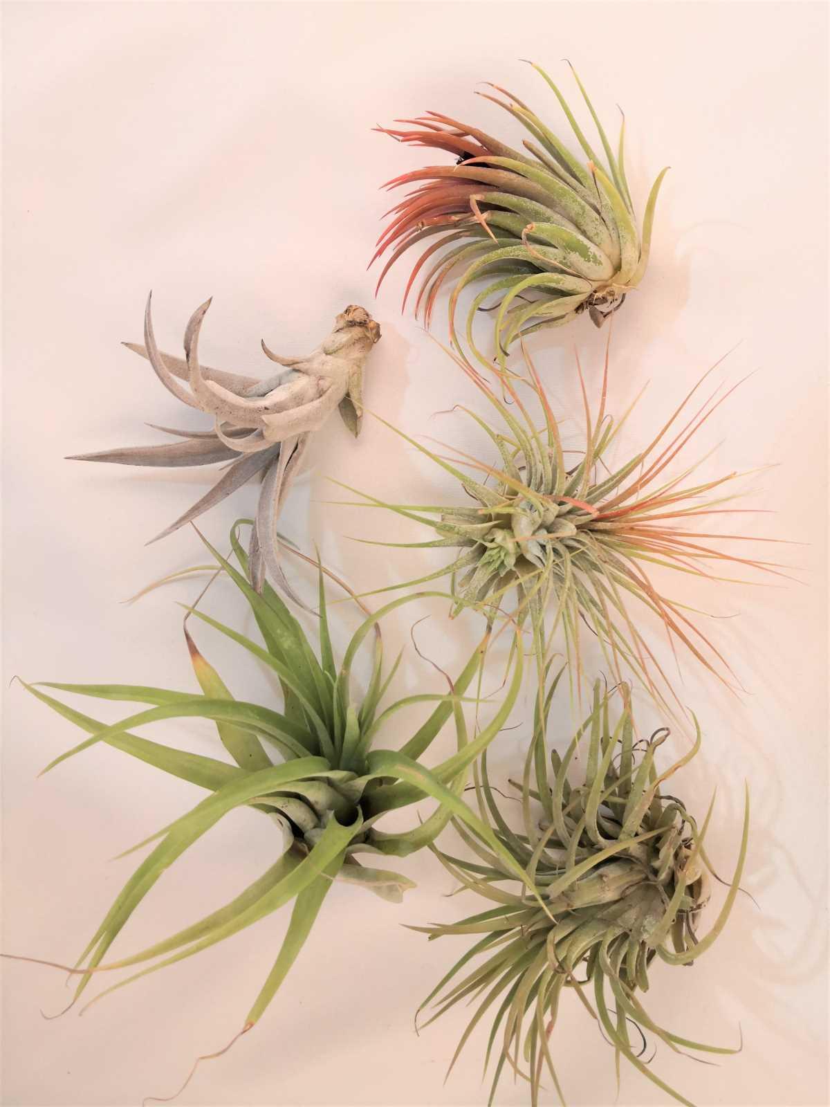 set de 5 plante aeriene