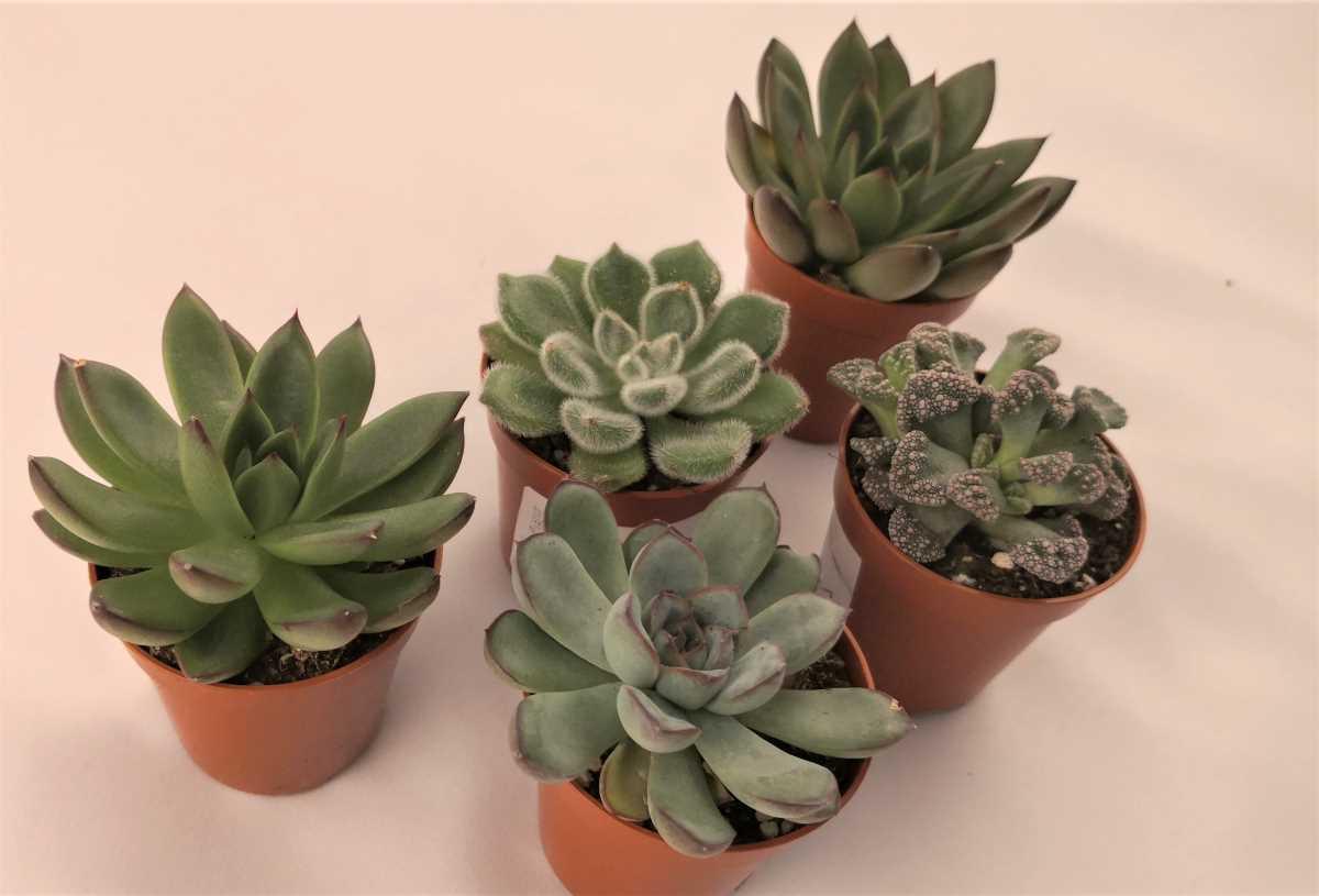 set mix de plante suculente