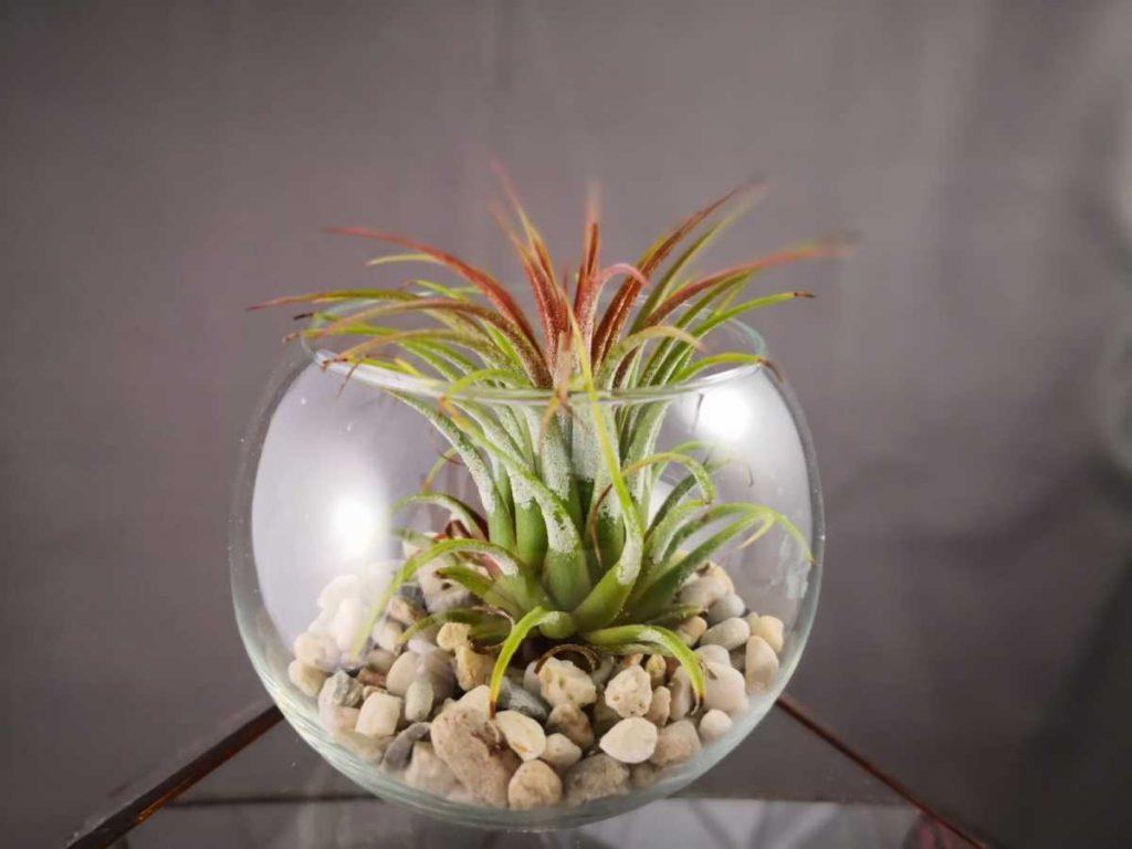 Terariu cu planta aeriana, bol de sticla, tillandsia, roz, pietre natur, fundal gri