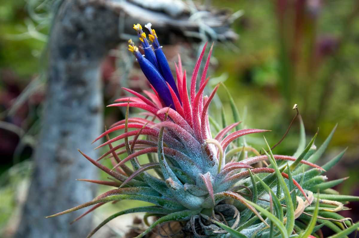 Flori tillandsia, planta aeriana, roz, flori mov, fundal verde