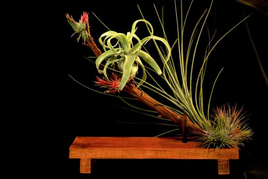 Aranajament plante aeriene, ikebana tillandsia, verde, ionantha, xerographica, lemn, natur, fundal negru