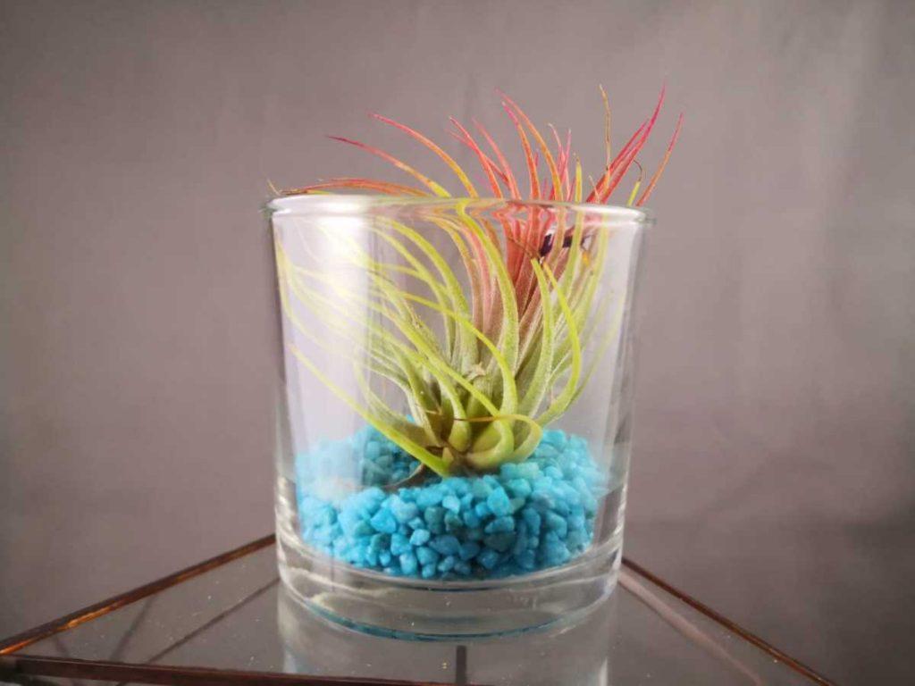 Terariu cu planta aeriana in pahar de sticla, tillandsia roz, pietris turcoaz,
