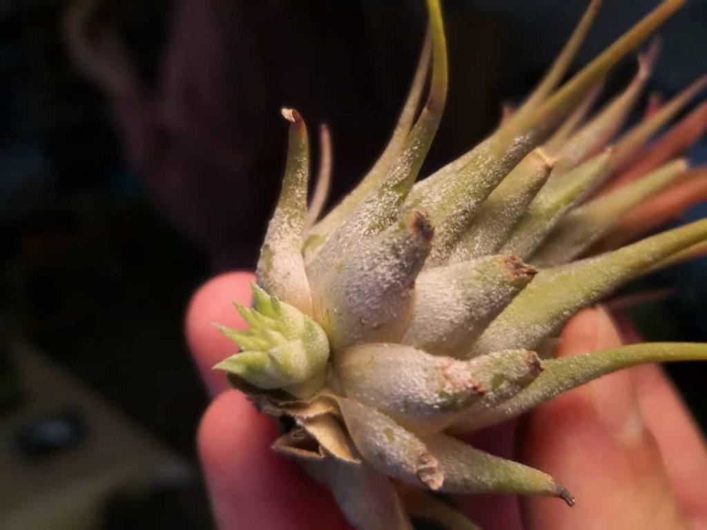 Pui Tillandsia, inmultire plante aeriene, mana, fundal inchis