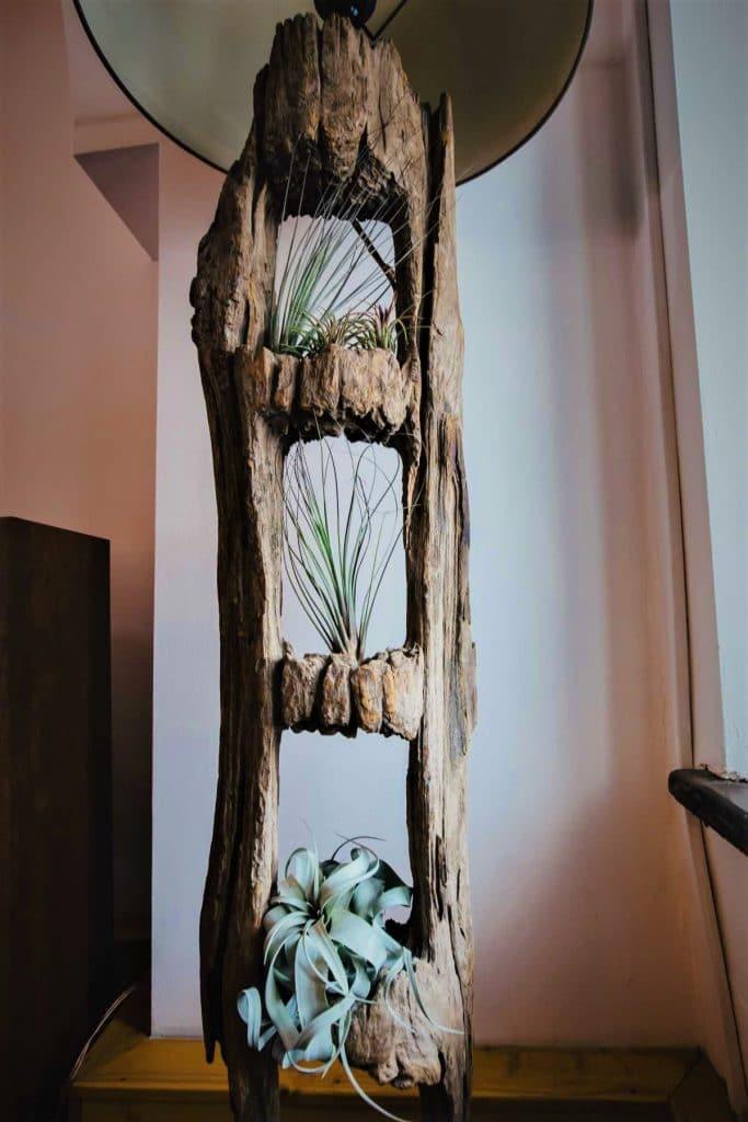 Tillandsia pe lemn, plante aeriene in lampa, natur, xerographica