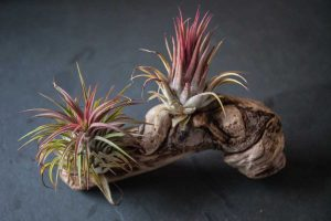 Tillandsia pe lemn, plante suculente pe coaja, lemn natur, fundal gri