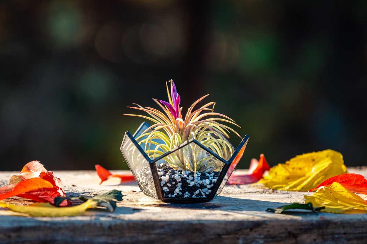 Terariu cu planta aeriana, semi-dodecaedru, tillandsia, floare, roz, pietre negre, fundal inchis