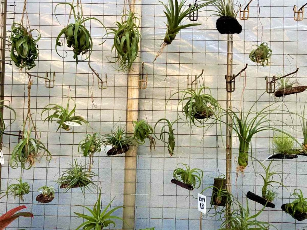 Plante aeriene pe sarma, gradina verticala, tillandsia, mix plante aeriene, verde