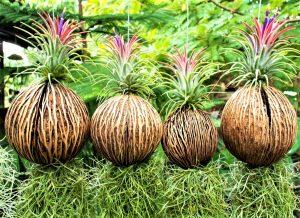 Tillandsia in nuca de cocos, planta aeriana, suport natural, agatat, roz, flori tillandsia