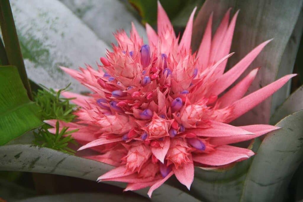 Bromelia roz, planta suculenta, flori roz, frunze verzi in fundal, verde crud, planta in terariu