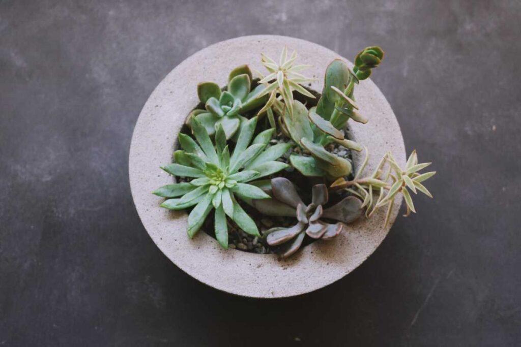 plante suculente in ghiveci de lut, echeveria, fundal gri