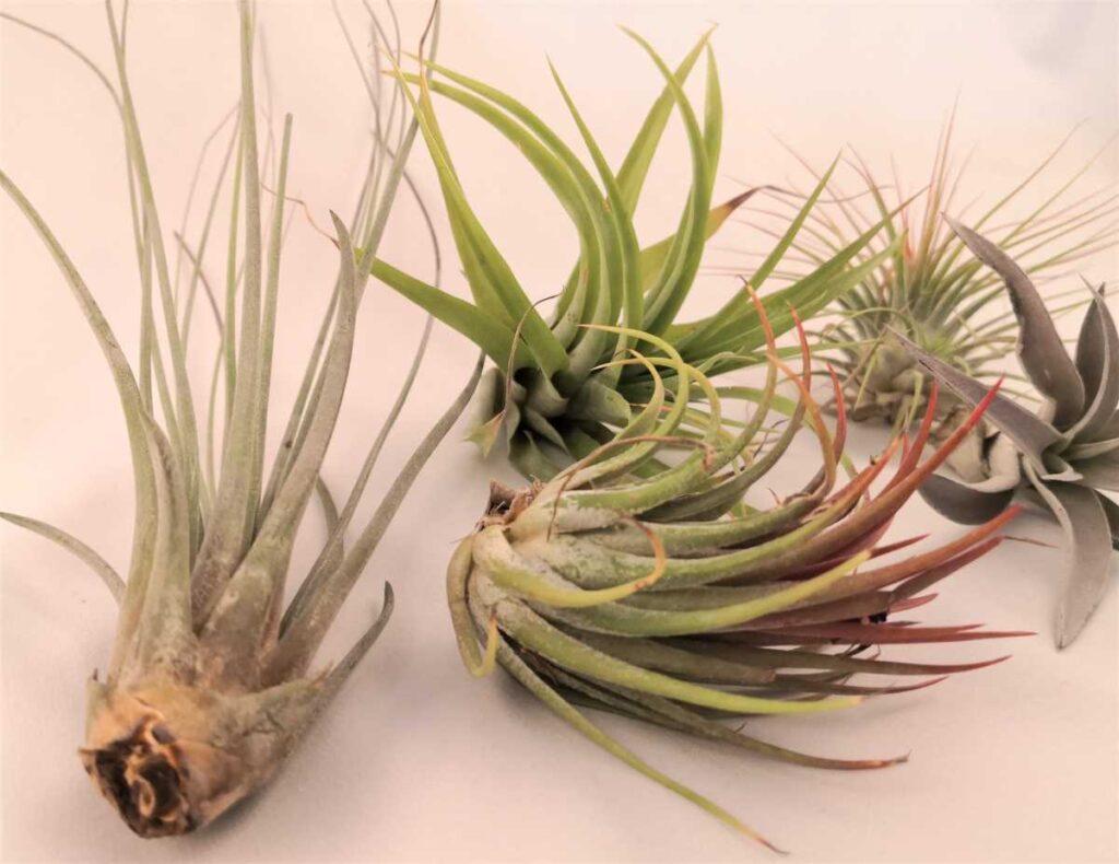 plante aeriene, tillandsia, verde crud, bromelia,