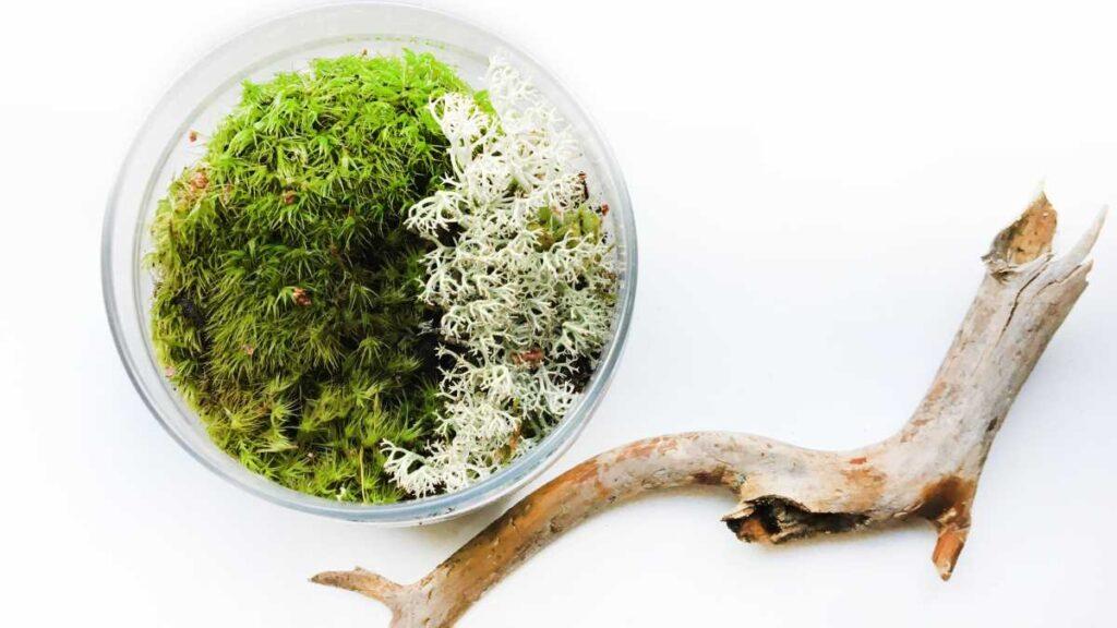 muschi decorativi verde si alb, bol de sticla, creanga de lemn, fundal alb