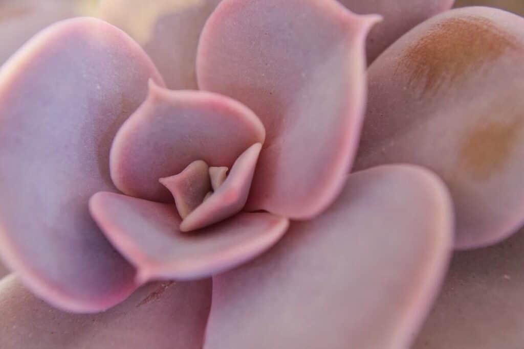 echeveria verde, planta suculenta echeveria, mov, roz