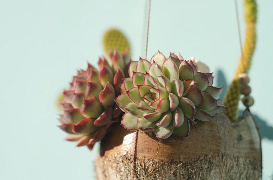echeveria verde, planta suculenta echeveria, margini mov, fundal deschis