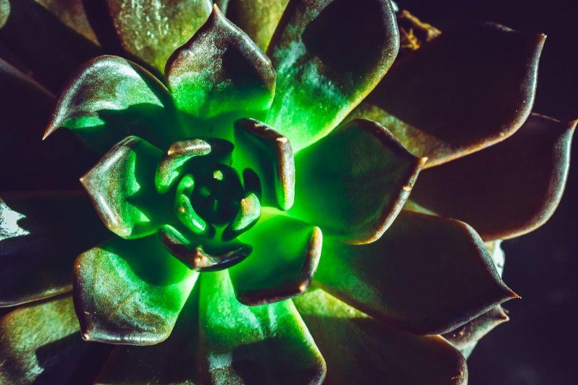 echeveria verde, planta suculenta echeveria, fundal inchis