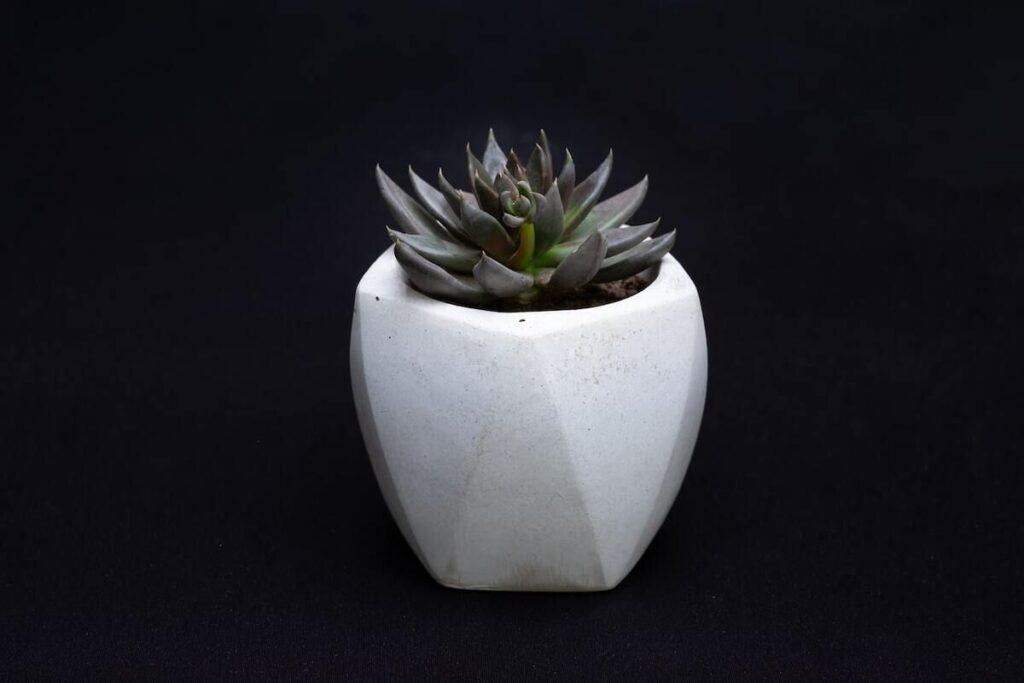 echeveria verde, planta suculenta echeveria, ghiveci beton, fundal negru