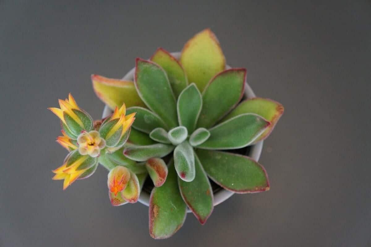 echeveria verde, planta suculenta echeveria, floare galbena, fundal gri