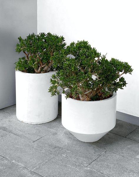 ghivece cu plante verzi, crassula ca un arbore de jad, interior modern, ghivece albe