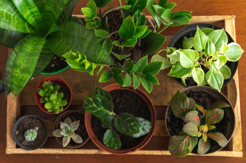 Fittonii verzi, grup de plante usor de intretinut, suport lemn