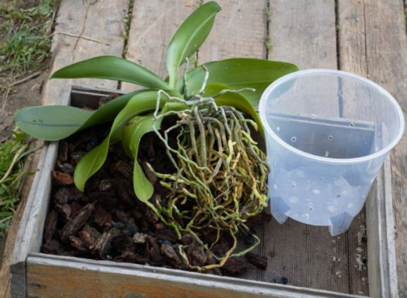 radacini de orhidee, scoarta pentru sol, ghiveci de plastic