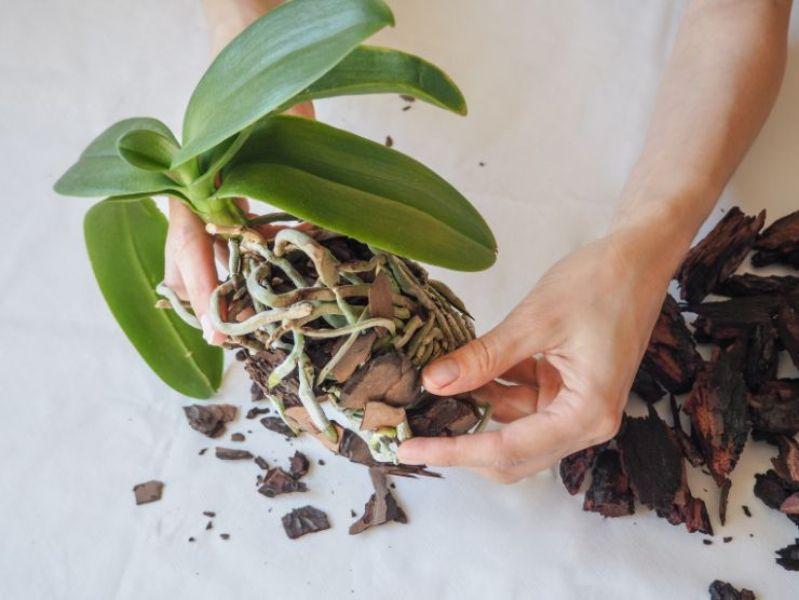 scoarta pentru radacinile de orhidee, replantarea plante cu frunze verzi