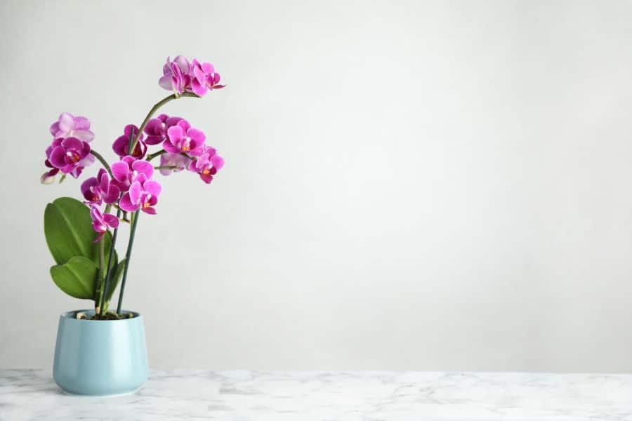 orhidee inalta cu flori mov, in ghiveci albastru pal, fundal deschis
