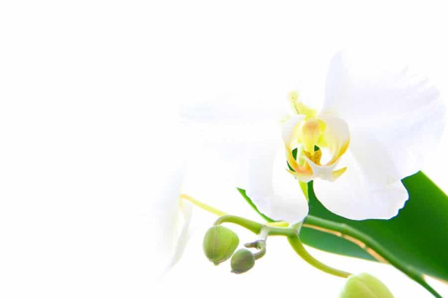 floare alba de orhidee cu bulbi de flori pe langa, frunze verzi
