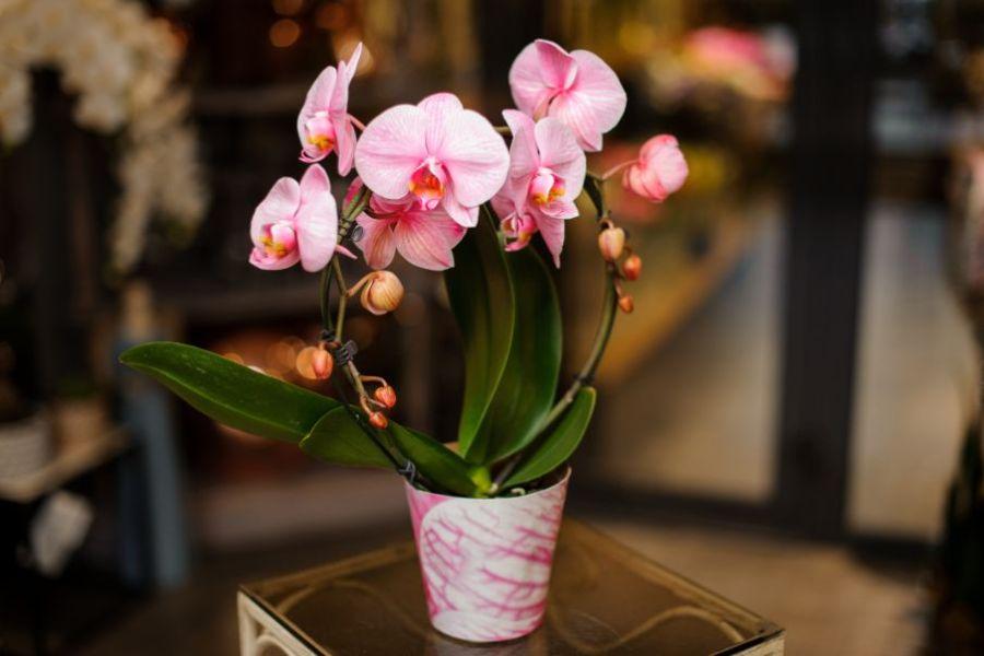 flori de orhidee roz, prinse intr-un cerc, ghiveci alb cu roz