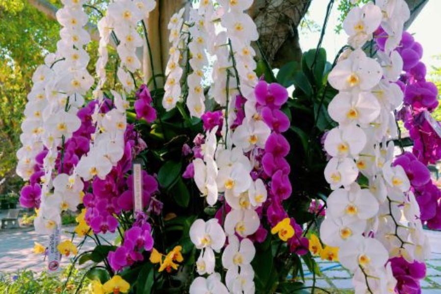 flori albe si mov de orhidee matura, aspect tropilcal, tulpini inalte