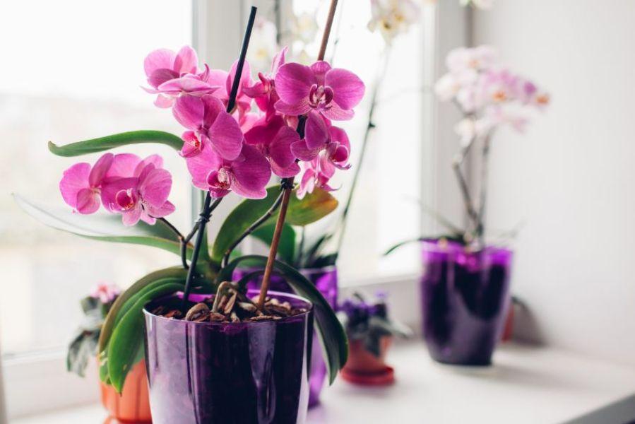 flori roz de orhidee, ghiveci mov, familie de plante