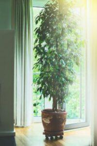 Ficus inalt in ghiveci mari, fereastra deschisa