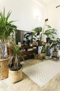 plante exotice in jurul unei comode cu televizor, ghivece din ratan, covor crem