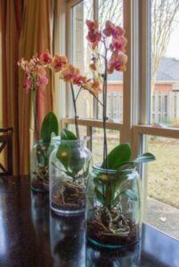 orhidee crescuta in borcan, flori roz spre portocaliu, draperii portocalii