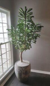 planta exotica inalta, ghiveri stabil gri, fundal cu perete gri si o fereastra