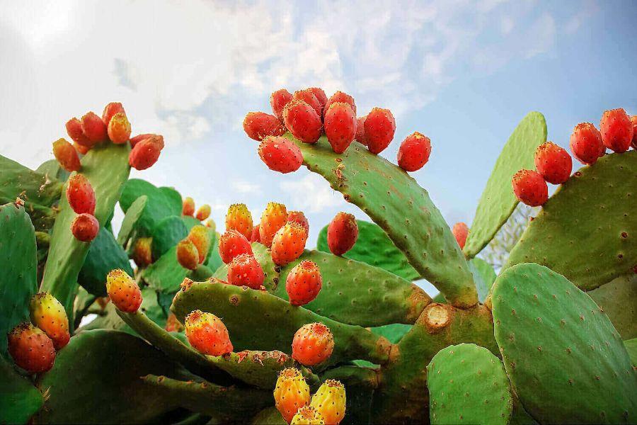 Fructe de puntia ficus indica, de culoare rosie spre portocaliu, cer albastru