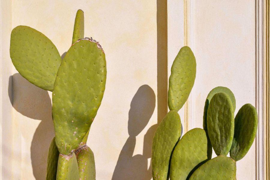 Puntia ficus indica matura, de culoarea verde, langa un perete de culoare deschisa
