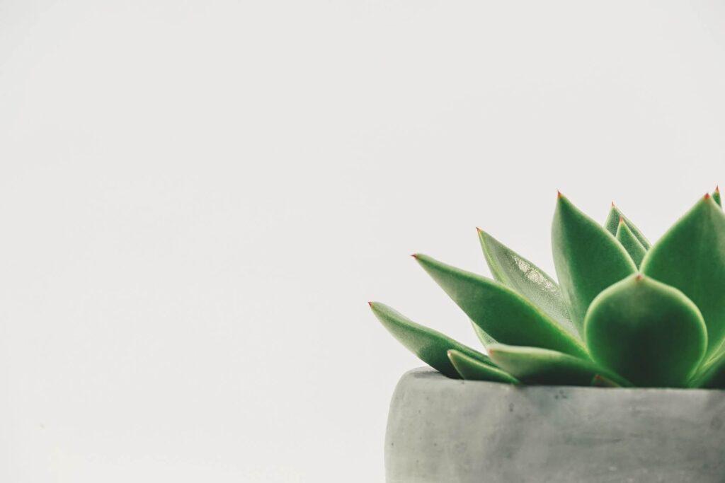 planta suculenta, echeveria, ghiveci ciment, fundal gri