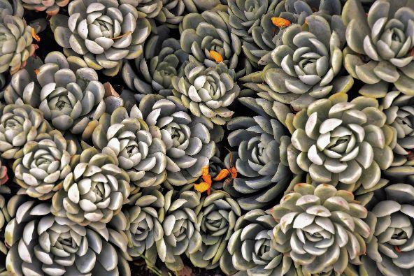plante suculente, echeveria, plante gri,