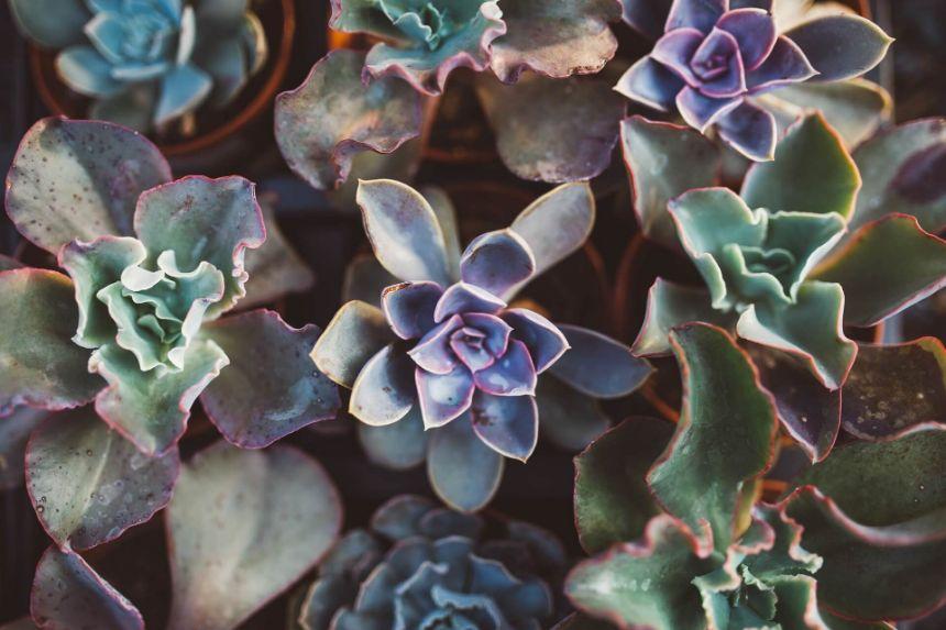 planta suculenta, planta mov, pietre