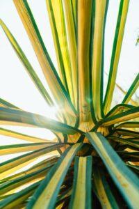 Raza de soare prin frunzele de agava amaricana