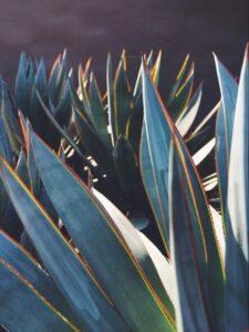 Frunze de agava ameriica, familie de plante, detaliu cu raza de soare