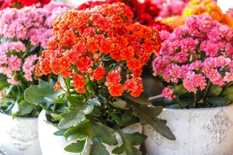 Grup de Kalanchoe mature, flori roz si portocalii, ghivece din ceramica