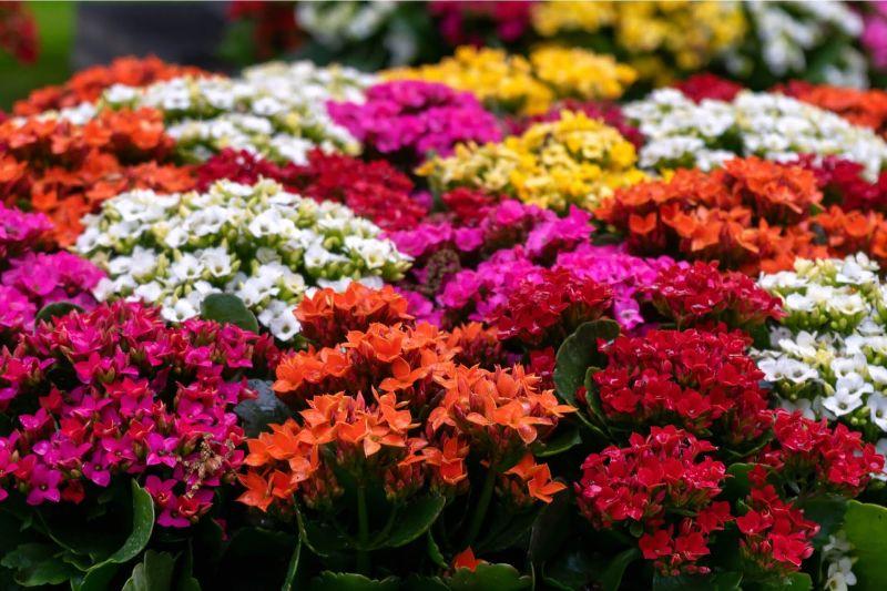Flori de Kalanchoe in diferite culori, flori albe, rosii, portocalii, galbene