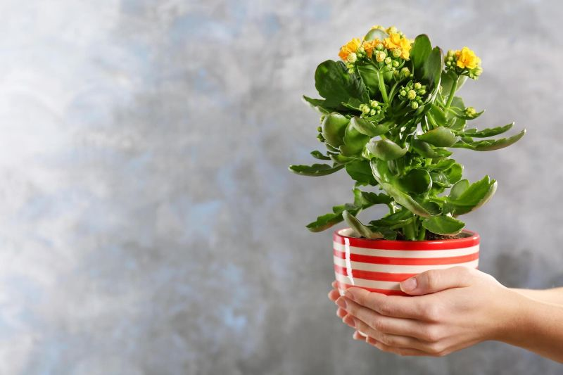 Kalanchoe inalta cu flori galbene, ghiveci in dungi albe si rosii, fundal gri