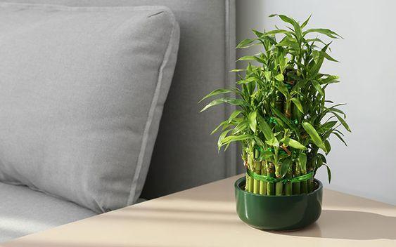 Planta verde numita Dracaena Sanderiana, ghiveci verde, colt de canapea, noptiera crem